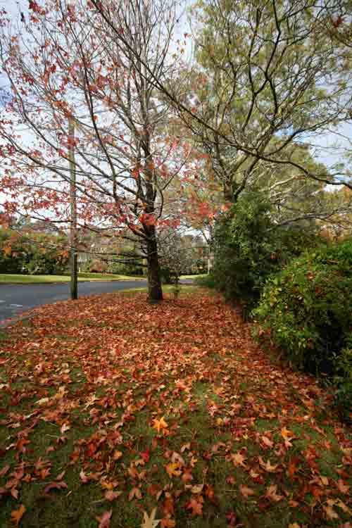 Bundanoon maple tree