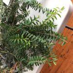 Melaleuca hypericifolia